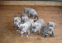 American staffrod puppies Image eClassifieds4u 1