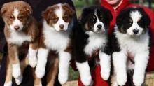 Australian Shepherd puppies Image eClassifieds4u 2