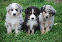 Australian Shepherd puppies Image eClassifieds4u 1