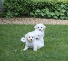 Bichon Frise puppies ready Image eClassifieds4u 2