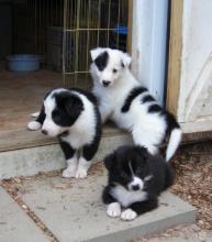 Border Collie puppies Image eClassifieds4U