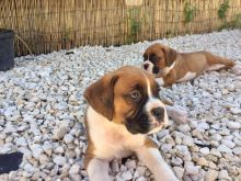Boxer puppies available for sale. Image eClassifieds4u 2