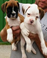 Boxer puppies available for sale. Image eClassifieds4u 1