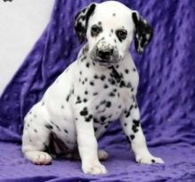 Dalmatian puppies Image eClassifieds4u 2