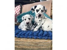 Dalmatian puppies Image eClassifieds4u 3