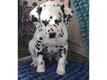 Dalmatian puppies Image eClassifieds4u 1
