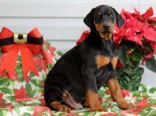 Doberman puppies Image eClassifieds4u 1