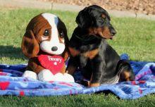 Doberman puppies Image eClassifieds4u 4