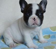French Bulldog puppies ready Image eClassifieds4u 3
