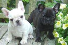 French Bulldog puppies ready Image eClassifieds4u 4