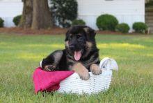German Shepherd puppies Image eClassifieds4u 3