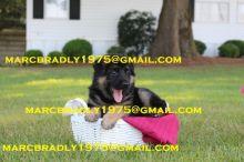 German Shepherd puppies Image eClassifieds4u 2