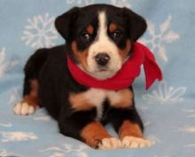 Greater Swiss Mountain Dog puppies Image eClassifieds4u 1
