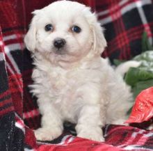 Havanese puppies Image eClassifieds4u 1