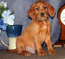 Irish Setter puppies Image eClassifieds4u 2