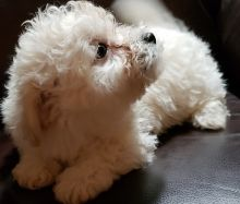 Loving Bolognese Puppies Image eClassifieds4u 1