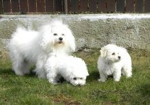 Loving Bolognese Puppies Image eClassifieds4u 2