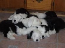 Old English Sheepdog puppies Image eClassifieds4u 2