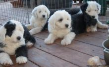 Old English Sheepdog puppies Image eClassifieds4u 3