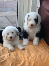 Old English Sheepdog puppies Image eClassifieds4u 1