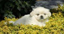 Pekingese puppies Image eClassifieds4u 3