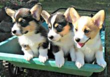 Pembroke Welsh Corgi puppies ready Image eClassifieds4u 4
