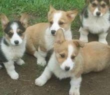 Pembroke Welsh Corgi puppies ready Image eClassifieds4u 1