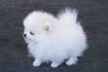 Pomeranian puppies Image eClassifieds4u 2