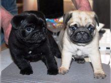 Pug Puppies ready Image eClassifieds4u 1