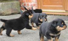 Rottweiler puppies Image eClassifieds4u 2