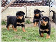 Rottweiler puppies Image eClassifieds4u 1