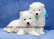 Samoyed puppies Image eClassifieds4u 2
