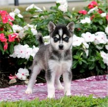 Beautiful & Fluffy Alaskan Klee Kai Pups Ready For Sale-Text now (204) 817-5731