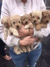 Beautiful miniature poodle pup male and female
