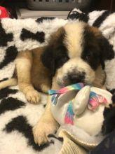 ☂️☂☮ Saint Bernard ☮ Puppies For Adoption 🎄🎄