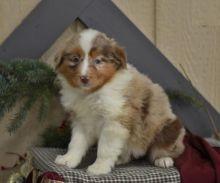 Australian Shepherd Puppies For Adoption