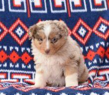 Australian Shepherd Puppies Looking For New Homes