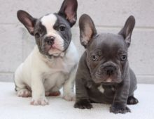 Beautiful Blue Pied French Bulldog Puppies Available