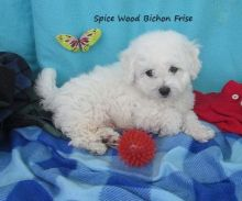 Bichon Frise Puppies Looking For New Homes