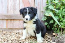 Border Collie Puppies Looking For New Homes