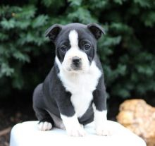 Boston Terrier Puppies Looking For New Homes