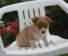 Corgi Puppies Looking For New Homes