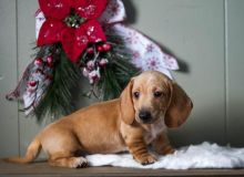 Dachshund Puppies Looking For New Homes