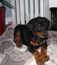 Doberman Pinscher Puppies For Adoption