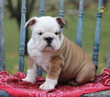 English Bulldog Puppies Looking For New Homes