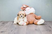 Havanese Puppies Looking For New Homes
