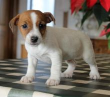 Jack Russell Terrier Puppies Looking For New Homes