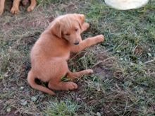 Labradoodle Puppies Looking For New Homes