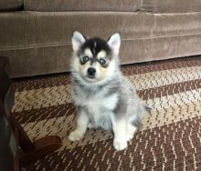 Pomsky Puppies Looking For New Homes