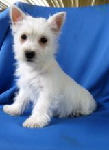 Westie Puppies Looking For New Homes